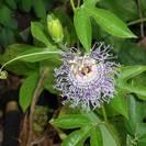 חסר במלאי - פסיפלורה | שעונית-רפואית | עלים | 100 גרם | Passiflora incarnata | Passion flower