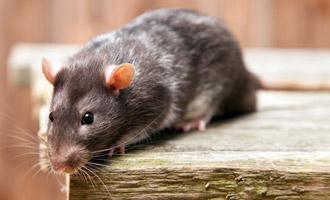 הדברת חולדות ועכברים