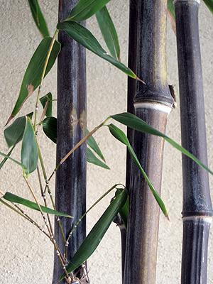 בן חזרן שחור - 25 ליטר