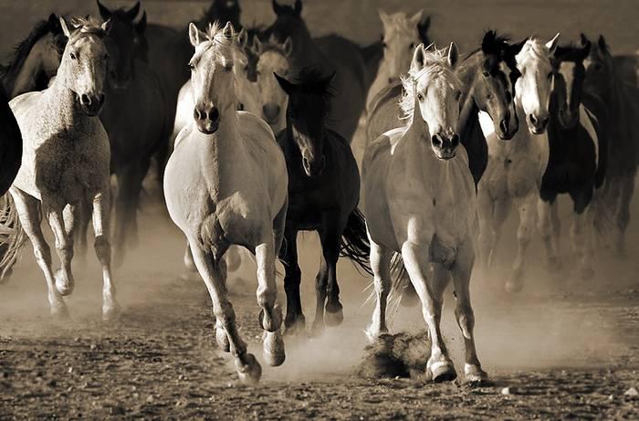 תמונת סוסים בשחור לבן
