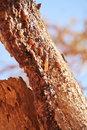 שרף מור – Commiphora Myrrha – Mo Yao