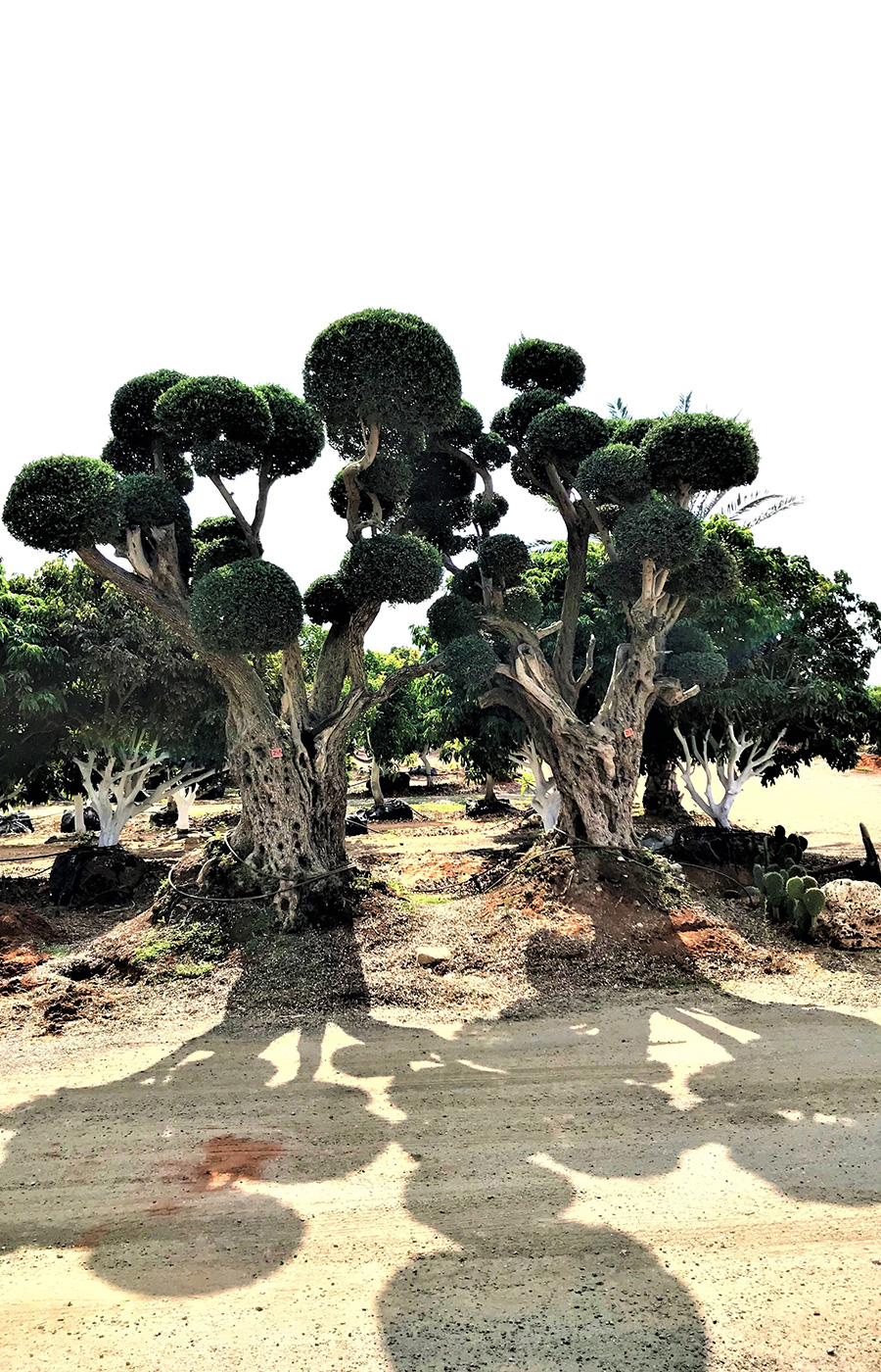 למעלה עצי זית | דרך האבן GI-48